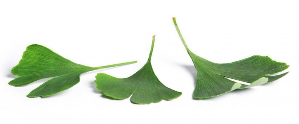 Everything You Need To Know About Ginkgo Biloba Extract