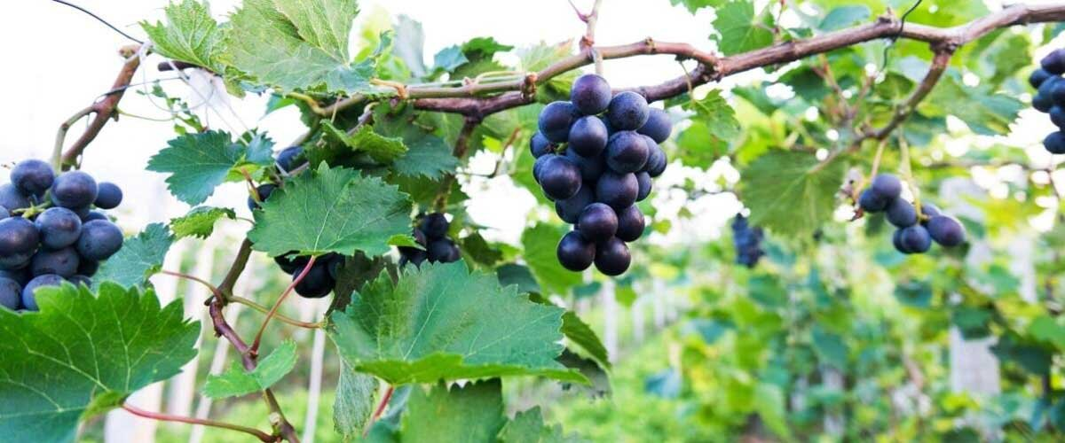 Everything You Need To Know About Resveratrol