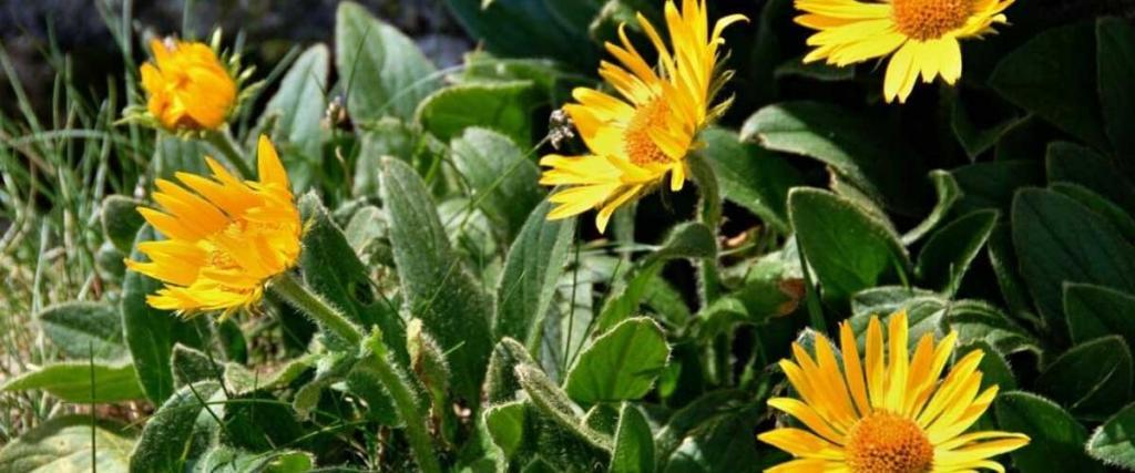 Everything You Need to Know About Arnica Extract