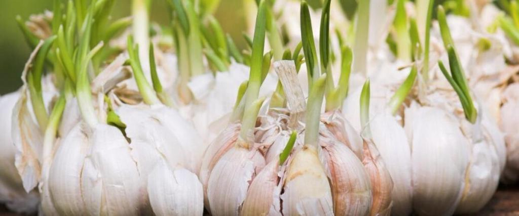 The Ultimate Guide to Garlic Extract for Weight Loss