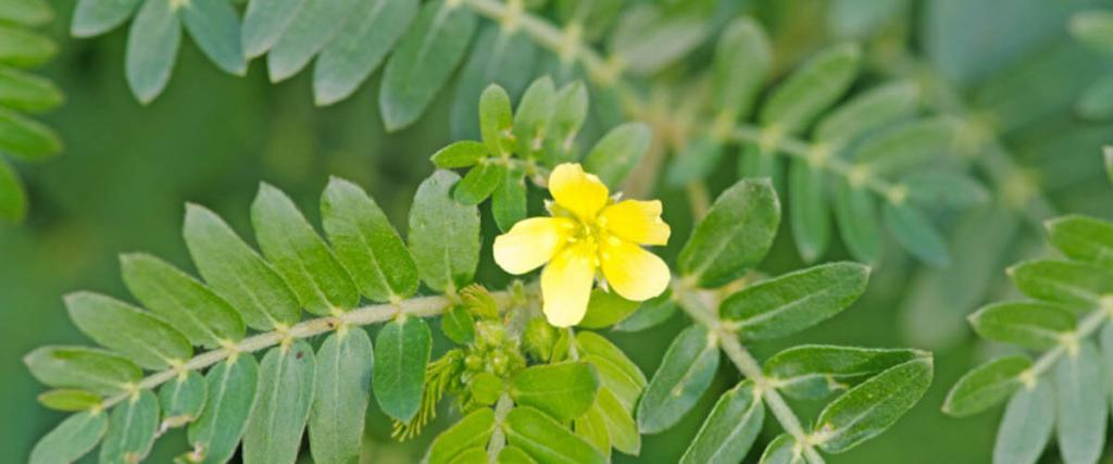 Everything You Need to Know about Tribulus terrestris extract