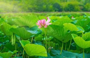 The Ultimate Guide to Lotus Leaf Extract for Weight Loss